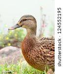 Mallard Duck Close Up