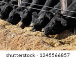 Black Angus Cattle Being Being...