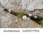 Pink Sea Thrift Growing In A...