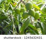 closeup of mangoes hanging... | Shutterstock . vector #1245632431