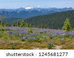 alpine flowers meadow | Shutterstock . vector #1245681277