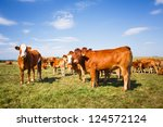 Cows Grazing On A Lovely Green...