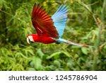 red parrot in flight. macaw... | Shutterstock . vector #1245786904