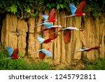 flock of red parrot in flight.... | Shutterstock . vector #1245792811
