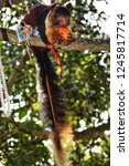 the indian giant squirrel  or... | Shutterstock . vector #1245817714
