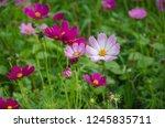 outstanding cosmos flowers in... | Shutterstock . vector #1245835711