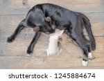 Stock photo top view of black mom cat feeding with milk to two kittens white and brown kittens on wood 1245884674