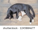 Stock photo top view of black mom cat feeding with milk to two kittens white and brown kittens on wood 1245884677
