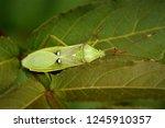 Homoeocerus Bipunctatus  A Bug...