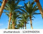 palm tree alley   Shutterstock . vector #1245940054