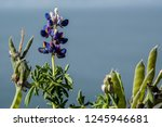typical bolivian flowers on the ... | Shutterstock . vector #1245946681