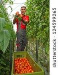Farmer picking tomato in a greenhouse - stock photo