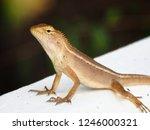 garden lizard. these changeable ... | Shutterstock . vector #1246000321
