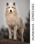portrait of arctic wolf | Shutterstock . vector #1246011661