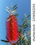 a red colour spiky bottlebrush... | Shutterstock . vector #1246062241