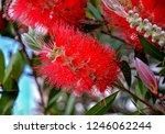 a red colour spiky bottlebrush... | Shutterstock . vector #1246062244