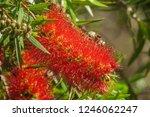 a red colour spiky bottlebrush... | Shutterstock . vector #1246062247