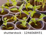 young shoots of bell peppers in ... | Shutterstock . vector #1246068451