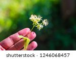 fragrant linden blossom in the... | Shutterstock . vector #1246068457