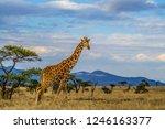 giraffe walking tall on dry... | Shutterstock . vector #1246163377