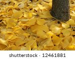 Golden yellow ginkgo leaves at the base of a young tree. - stock photo