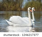 white swans on the river.a... | Shutterstock . vector #1246217377