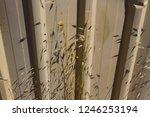 dried avena fatua common wild... | Shutterstock . vector #1246253194