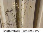 dried avena fatua common wild... | Shutterstock . vector #1246253197