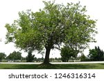 isolated tree on the field | Shutterstock . vector #1246316314