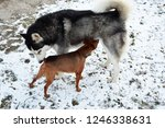 two different breeds of dogs... | Shutterstock . vector #1246338631