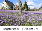 Purple Crocus Flowers Meadow...