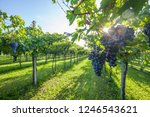 grape harvest italy   Shutterstock . vector #1246543621