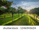 grape harvest italy   Shutterstock . vector #1246543624