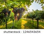 grape harvest italy   Shutterstock . vector #1246543654