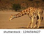 african giraffe  giraffa... | Shutterstock . vector #1246564627