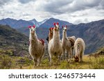 llamas on the trekking route... | Shutterstock . vector #1246573444