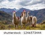 llamas on the trekking route...   Shutterstock . vector #1246573444