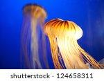 Orange Jellyfish  Chrysaora...