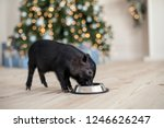 Stock photo black mini pig eating from metal pet food bowl on the wooden floor christmas lights bokeh 1246626247