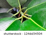 rubber fig's big smooth green... | Shutterstock . vector #1246654504