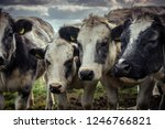curious shaggy cows huddled...   Shutterstock . vector #1246766821