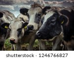 friendly shaggy cows grouped...   Shutterstock . vector #1246766827