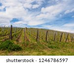 wide view of grape vines...   Shutterstock . vector #1246786597