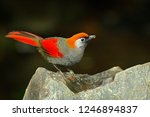 red and grey songbird red... | Shutterstock . vector #1246894837