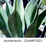 century plant cactus in the... | Shutterstock . vector #1246897621