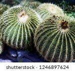 barrel cactus sonora desert and ... | Shutterstock . vector #1246897624