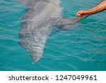 the rescued smiling dolphin... | Shutterstock . vector #1247049961