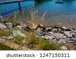 avena fatua a common wild oats... | Shutterstock . vector #1247150311