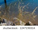 avena fatua a common wild oats... | Shutterstock . vector #1247150314