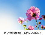 flowering grass in the nature...   Shutterstock . vector #1247208334